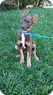 German Shepherd Dog/Husky Mix Puppy for adoption in Huntington, Indiana - Fabio