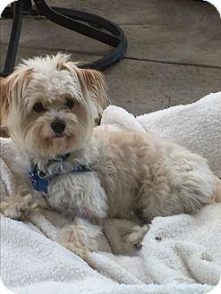 Poodle (Miniature)/Maltese Mix Dog for adoption in Thousand Oaks, California - Charlie
