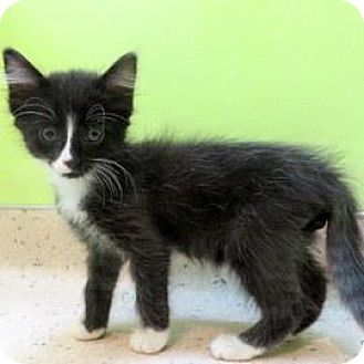 Domestic Shorthair Kitten for adoption in Janesville, Wisconsin - Chef Andrea