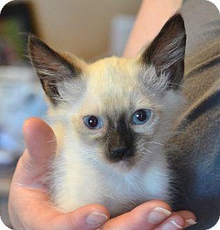 Siamese Kitten for adoption in Davis, California - Morgan