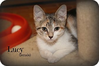 Domestic Shorthair Kitten for adoption in Glen Mills, Pennsylvania - Lucy