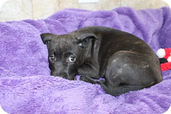 Golden Retriever Mix Puppy for adoption in Wellington, Florida - ESTELLA