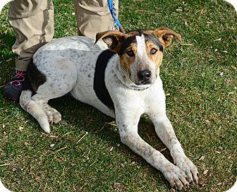 Hound (Unknown Type)/Cattle Dog Mix Dog for adoption in Gardnerville, Nevada - Scooby