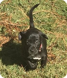 Labrador Retriever Mix Puppy for adoption in Olive Branch, Mississippi - Simba