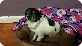 Chihuahua Mix Dog for adoption in Lisbon, Ohio - Captain