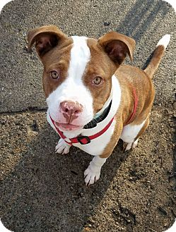 Pit Bull Terrier Mix Dog for adoption in Port Huron, Michigan - Neema