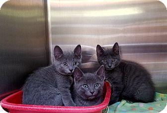 Domestic Shorthair Kitten for adoption in Elyria, Ohio - Ashley Smokey & Dusty
