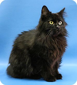 Maine Coon Cat for adoption in Overland Park, Kansas - Georgie