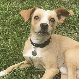 Terrier (Unknown Type, Small) Mix Dog for adoption in Little Rock, Arkansas - Juan-Carlos