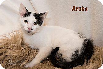 Domestic Shorthair Kitten for adoption in San Juan Capistrano, California - Aruba