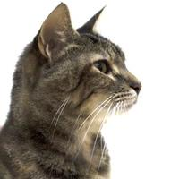 Domestic Shorthair/Domestic Shorthair Mix Cat for adoption in Dayton, Ohio - Justine