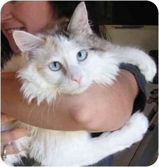 Turkish Van Cat for adoption in Davis, California - Lizzy