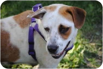 American Bulldog Mix Dog for adoption in Bay City, Michigan - Bonnie~~ADOPTED 12/2010~~