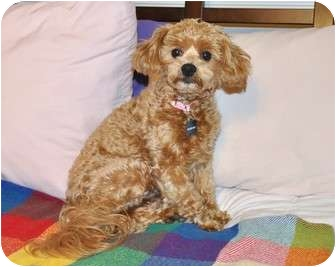 Poodle (Miniature)/Lhasa Apso Mix Dog for adoption in Yorba Linda, California - Parci