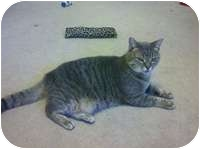 Domestic Shorthair Cat for adoption in Tampa, Florida - Luna