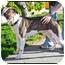 Photo 3 - American Pit Bull Terrier Dog for adoption in Berkeley, California - Khan **URGENT**
