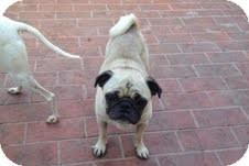 Pug Dog for adoption in Pasadena, California - PEBBLES