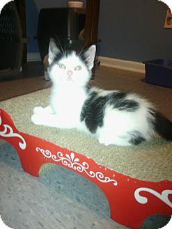 Domestic Shorthair Kitten for adoption in Warren, Michigan - Pop