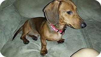 Dachshund Puppy for adoption in Oviedo, Florida - Sammie