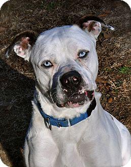 Bulldog Mix Dog for adoption in Wilmington, Delaware - Buddy