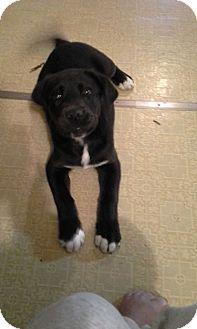 Labrador Retriever Mix Puppy for adoption in Hartford, Connecticut - Jake