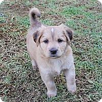 Adopt A Pet :: Tig - La Habra Heights, CA
