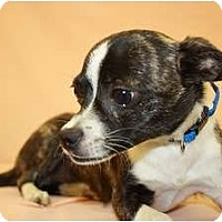 Adopt A Pet :: Chicory - Broomfield, CO