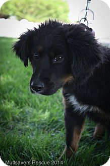 German Shepherd Dog/Collie Mix Puppy for adoption in Broomfield, Colorado - Freedom