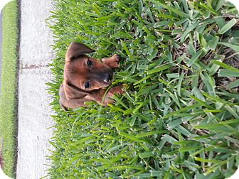 Dachshund Mix Puppy for adoption in Oviedo, Florida - Winnie
