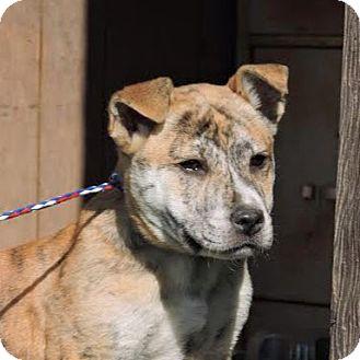Catahoula Leopard Dog/Shepherd (Unknown Type) Mix Puppy for adoption in Monte Rio, California - Tigerlilly