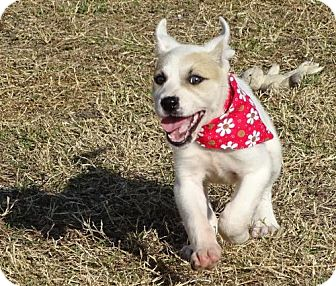 American Bulldog Mix Puppy for adoption in Port St. Joe, Florida - Pebbles
