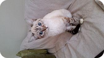 Siamese Cat for adoption in Marietta, Georgia - Alice