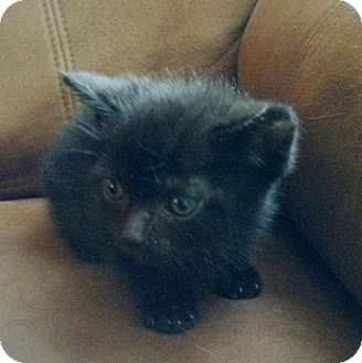 Domestic Shorthair Kitten for adoption in Wilmore, Kentucky - Licorice