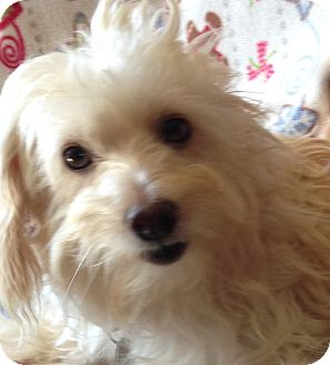 Coton de Tulear Dog for adoption in Carlsbad, California - Bonnie and Clyde