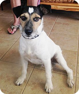 Jack Russell Terrier Dog for adoption in San Antonio, Texas - Wally in San Antonio