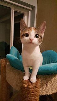 Calico Kitten for adoption in Los Angeles, California - Delta Dawn