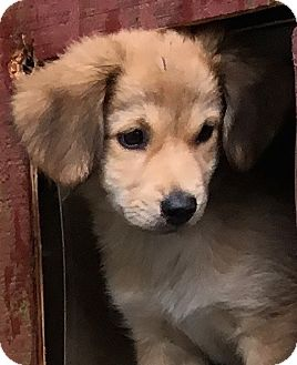 Golden Retriever/Spaniel (Unknown Type) Mix Puppy for adoption in Pennigton, New Jersey - Judy