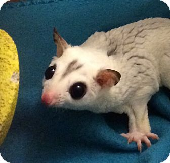 Sugar Glider for adoption in St. Paul, Minnesota - Rocky