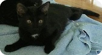 Domestic Shorthair Kitten for adoption in Seminole, Florida - Wrigley