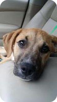 Labrador Retriever/Shepherd (Unknown Type) Mix Puppy for adoption in Alpharetta, Georgia - Virgilee