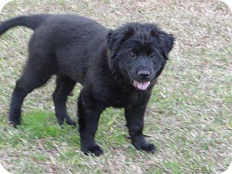 Labrador Retriever/Chow Chow Mix Puppy for adoption in Macon, Georgia - Kira