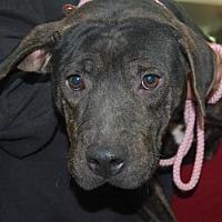 Adopt A Pet :: Katy - Brooklyn, NY
