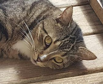 Domestic Shorthair Cat for adoption in North Fort Myers, Florida - Max