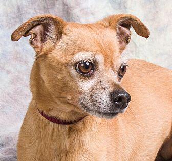 Chihuahua Dog for adoption in Anna, Illinois - CHICO