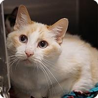 Siamese Cat for adoption in Naperville, Illinois - Taz