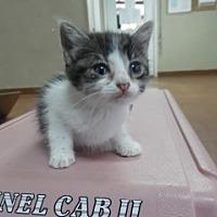 Domestic Shorthair Kitten for adoption in Clarksville, Arkansas - Bess