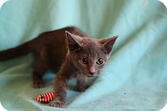 Russian Blue Kitten for adoption in Spring Valley, New York - Sergei