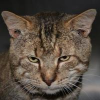 Domestic Shorthair/Domestic Shorthair Mix Cat for adoption in North Myrtle Beach, South Carolina - Blythe
