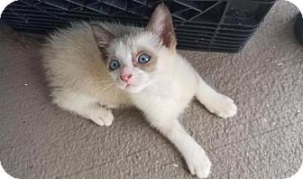 Siamese Kitten for adoption in Boca Raton, Florida - Jon Snow
