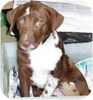 Labrador Retriever/Setter (Unknown Type) Mix Puppy for adoption in Murphysboro, Illinois - Rocky Road